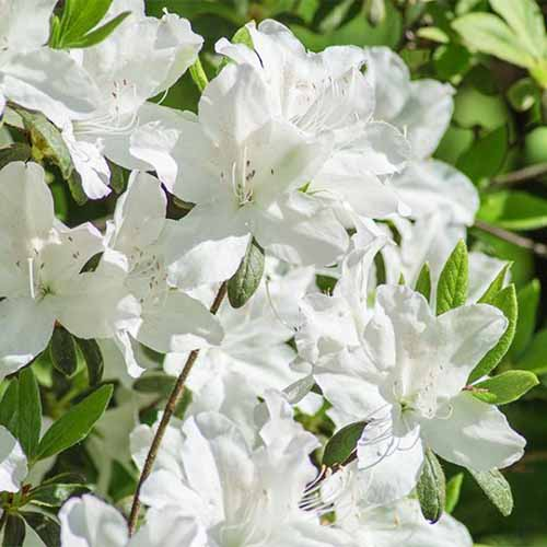 A close up square image of white 'Casade' azaleas growing in a sunny garden with foliage in soft focus in the background.