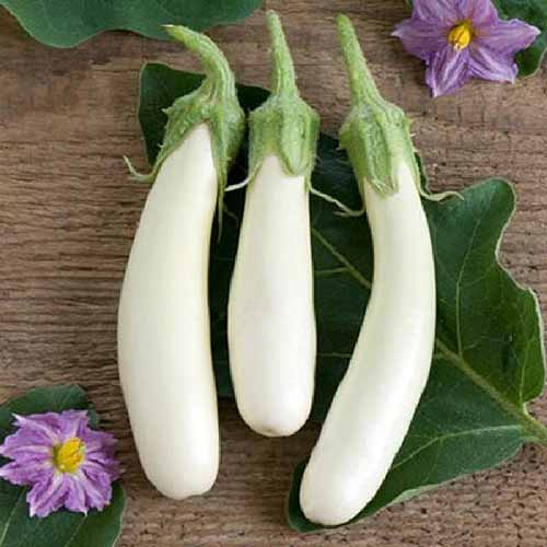 A close up square image of three 'Casper' eggplants set on a leaf on a wooden surface with purple flowers to the top and bottom of the frame.