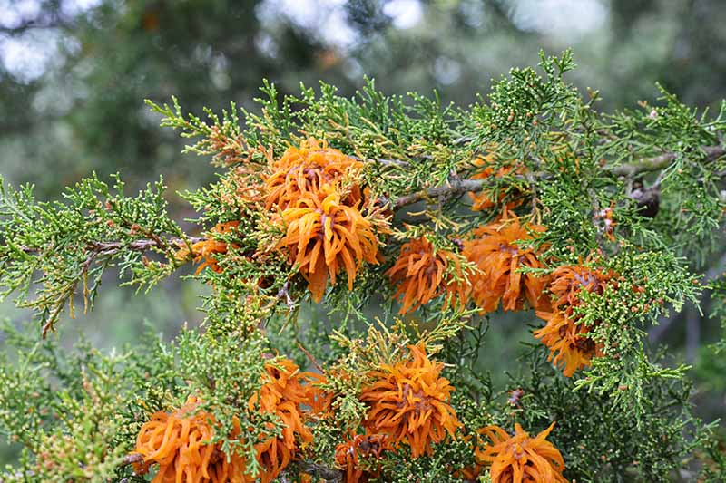 A close up horizontal image of cedar apple rust fungi growing on a conifer pictured on a soft focus background.