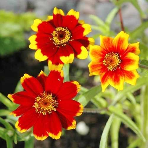 A close up square image of bright red and yellow bicolored 'Chippendale Daisy' blooms pictured on a soft focus background.