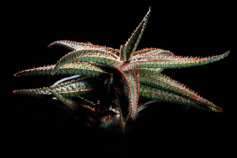 A close up horizontal image of a 'Christmas Carol' aloe plant pictured on a dark background.
