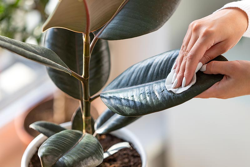 A close up horizontal image of a hand from the right of the frame using a cotton pad to clean the leaves of a rubber tree growing in a pot indoors.