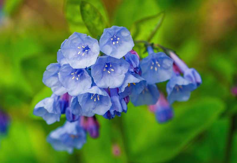 A close up horizontal image of a Mertensia virginica flower cluster pictured on a soft focus green background.