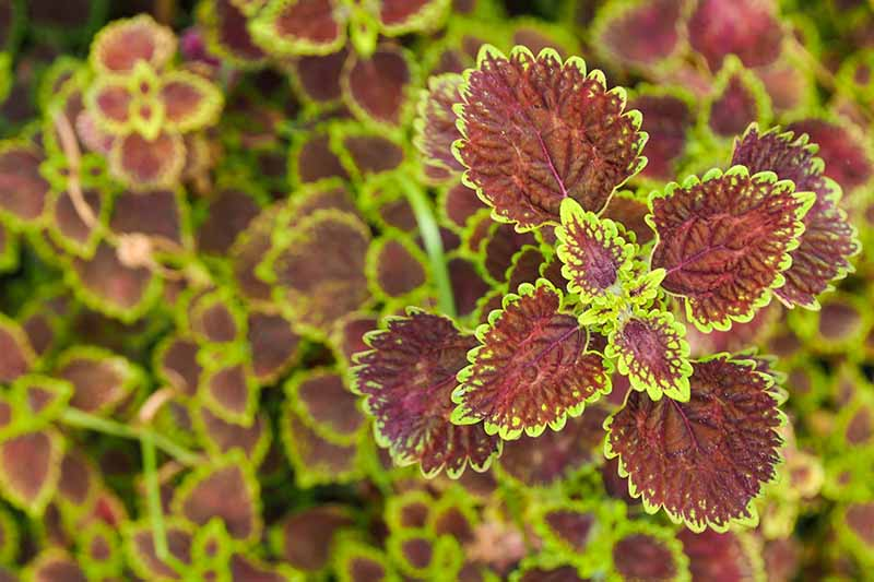 A close up horizontal image of the ornamental variegated leaves of a coleus plant growing in the garden.