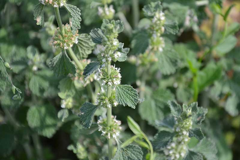 A close up horizontal image of common horehound (Marrubium vulgare) growing in the garden with small white flowers.