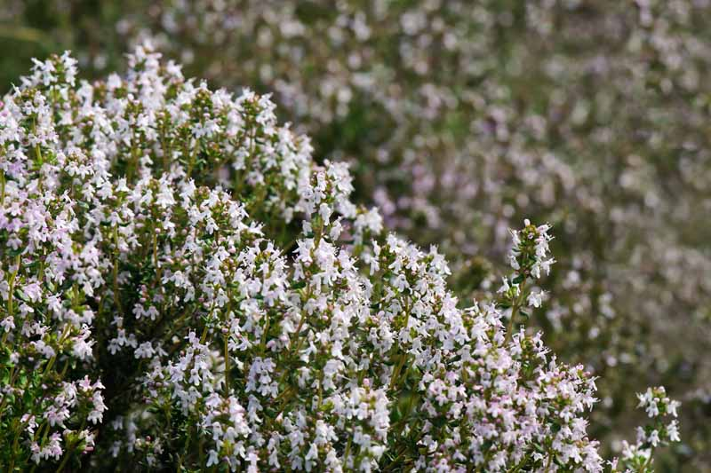 A close up horizontal image of common thyme (Thymus vulgaris) in full bloom.