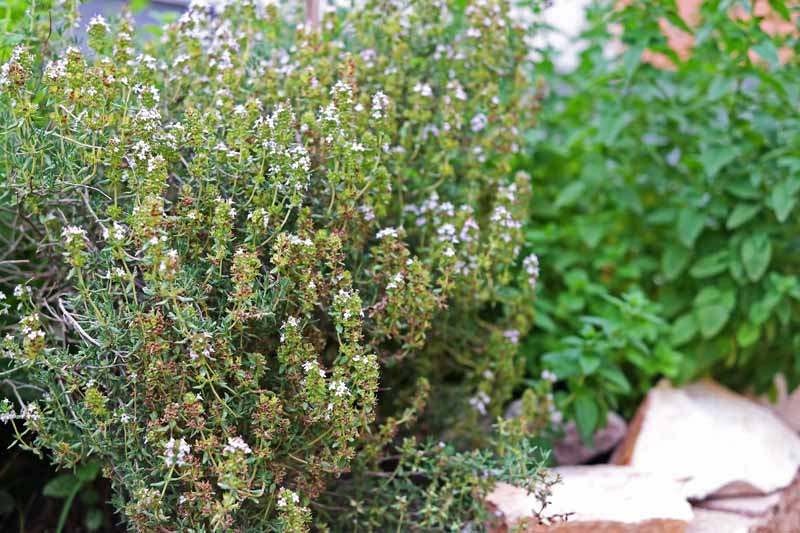 A close up horizontal image of Thymus vulgaris growing in a kitchen herb garden pictured on a soft focus background.