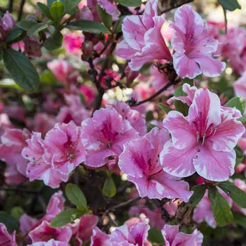A close up square image of pink and white bicolored 'Conversation Piece' azaleas growing in a shady spot pictured on a soft focus background.
