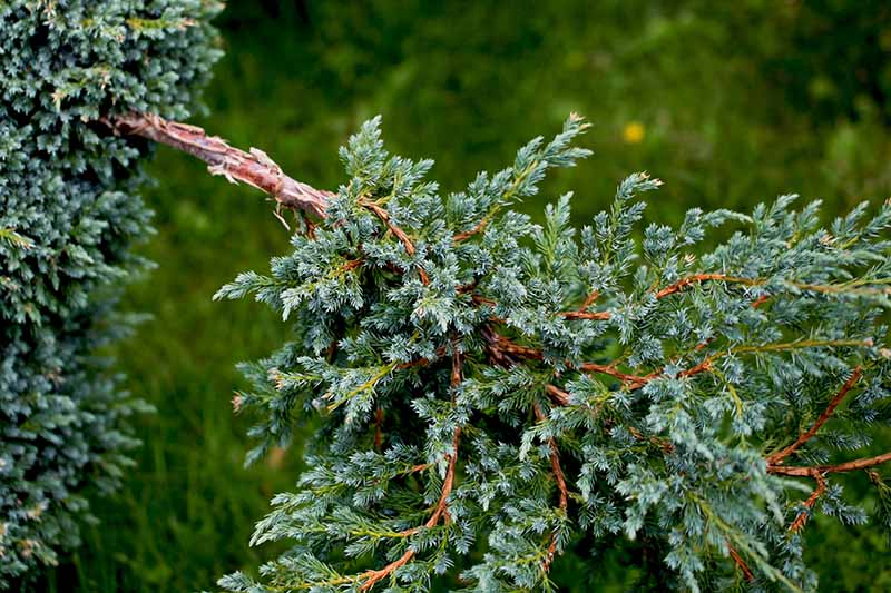 A close up horizontal image of a branch of Juniperus sabina pictured on a soft focus background.