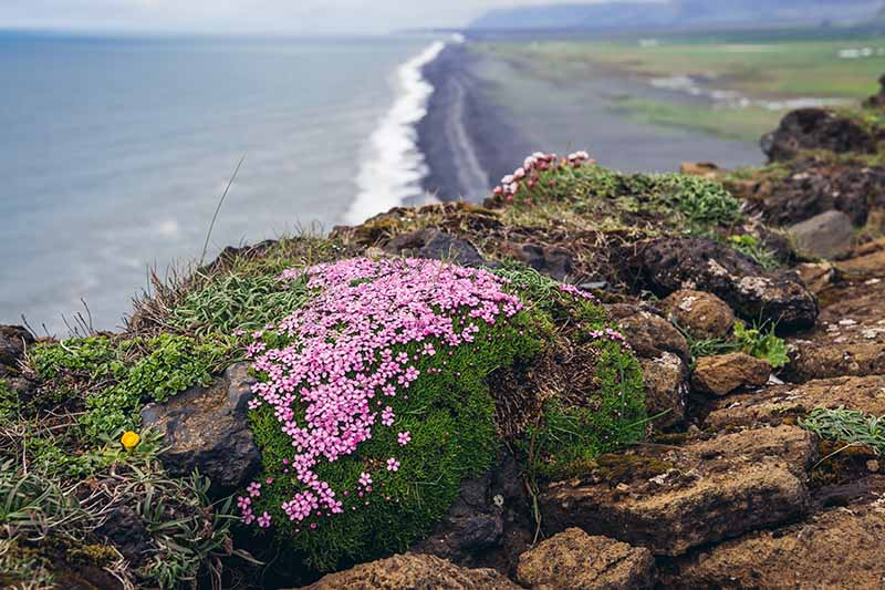 A horizontal image of a small clump of creeping thyme growing on a clifftop with the ocean and a black sand beach in the background.