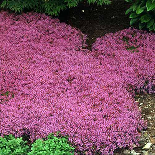 A close up square image of Thymus praecox growing as ground cover in the garden in a shady location.