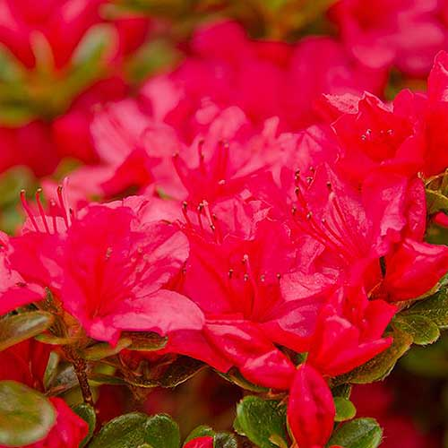 A close up square image of bright red 'Crimson' azalea flowers pictured on a  soft focus background.