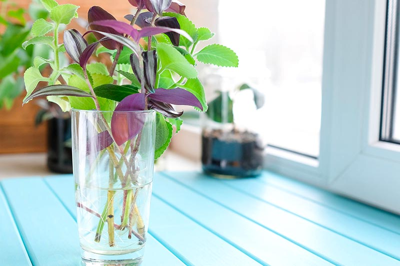 A close up horizontal image of cuttings placed in water in a glass in a sunny spot on the windowsill just starting to take root.