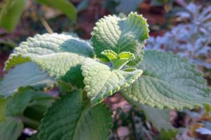 How to Grow and Care for Cuban Oregano