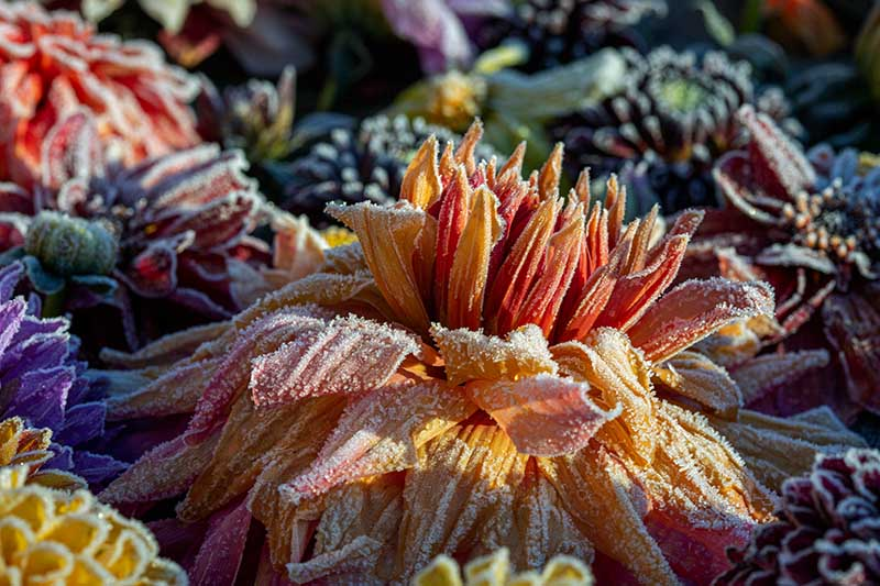 A close up horizontal image of flowers covered in a layer of frost pictured in light sunshine on a soft focus background.