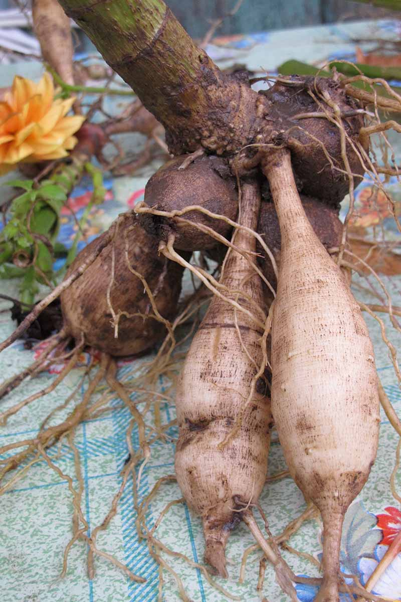 A close up vertical image of tubers lifted from the ground in autumn for winter storage.