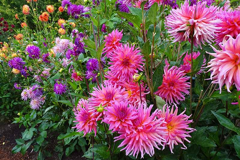 A close up horizontal image of a garden filled with brightly colored dahlia flowers in pinks, purple, and orange.