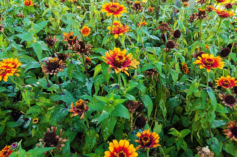 A close up horizontal image of annual flowers growing en masse in a flower border.