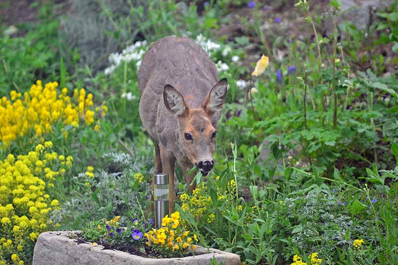 A horizontal image of a deer munching on flowers and shrubs in the garden.