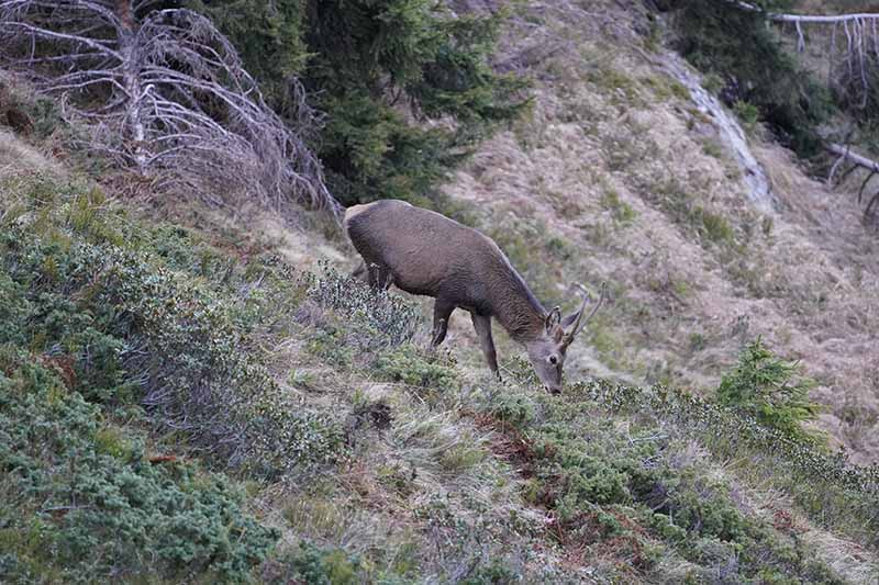 A horizontal image of a red deer grazing on a hillside in autumn.