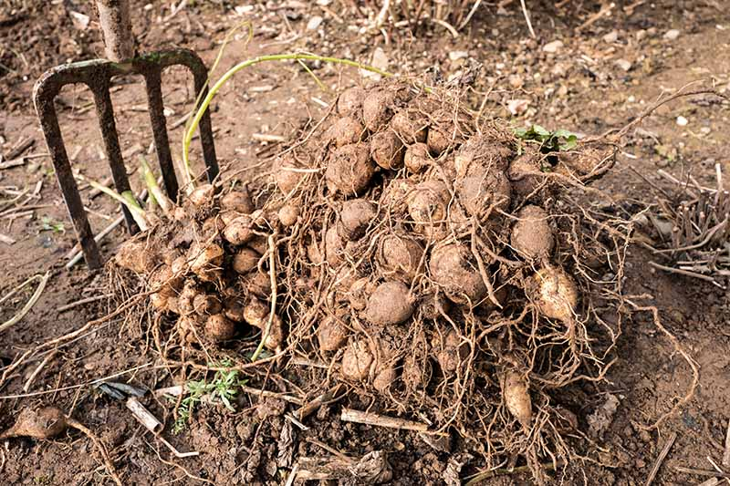 A close up horizontal image of a garden fork to the left fo the frame and a pile of freshly dug tubers ready for winter storage.
