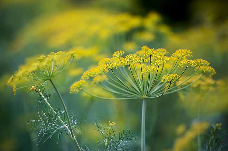 A close up horizontal image of bright yellow dill flowers growing in the garden pictured on a soft focus background.