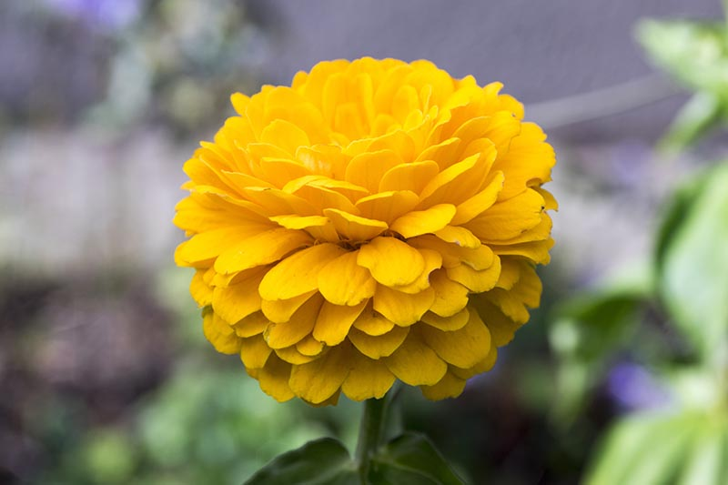 A close up horizontal image of a yellow double-petalled flower pictured on a soft focus background.