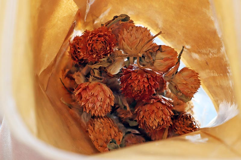 A close up horizontal image of a paper bag with picked and dried Gomphrena globosa flowers.