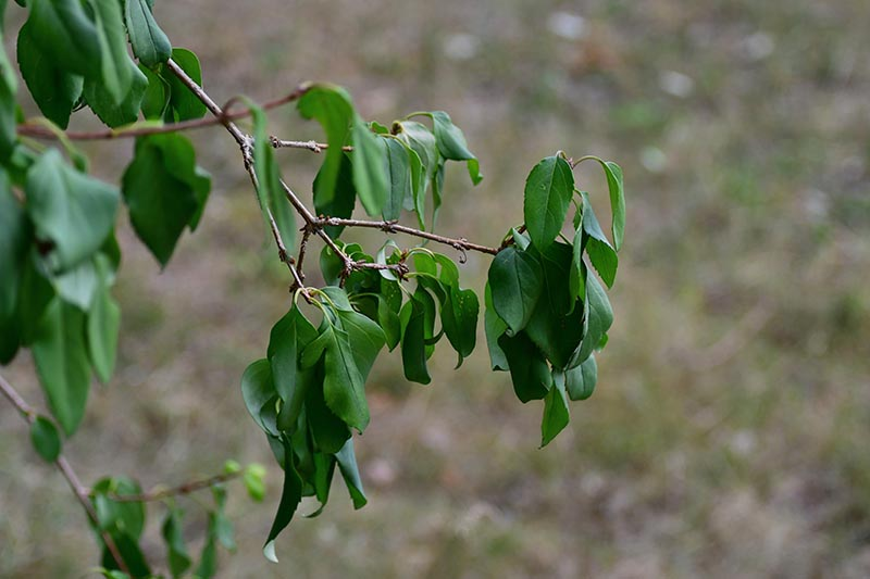 A close up horizontal image of green, drooping foliage pictured on a soft focus background.