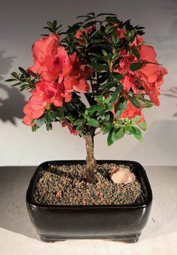 A close up vertical image of 'Duc De Rohan' azalea trained as a bonsai tree in a small black ceramic pot pictured on a soft focus background.