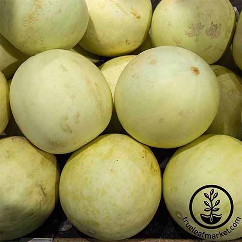 A close up square image of a pile of 'Earli-Dew' melons. To the bottom right of the frame is a black circular logo with text.