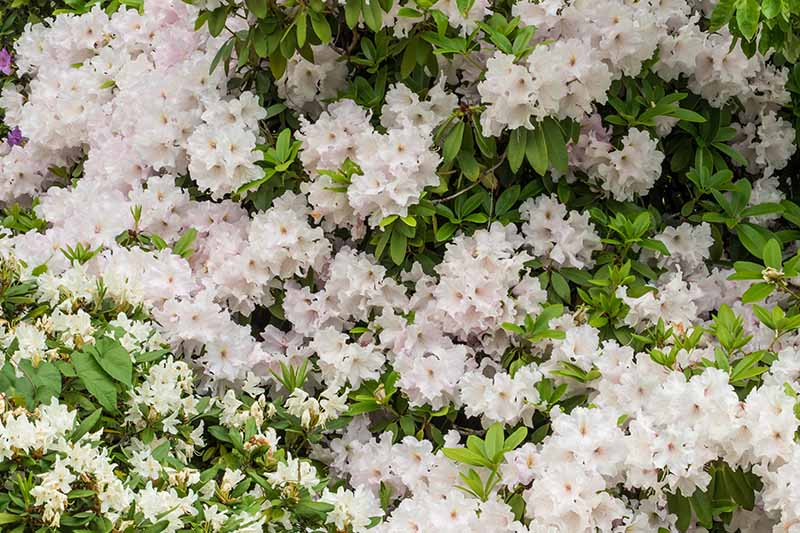 A close up horizontal image of the dense clusters of white Rhoodendron arborescens flowers growing in the garden.