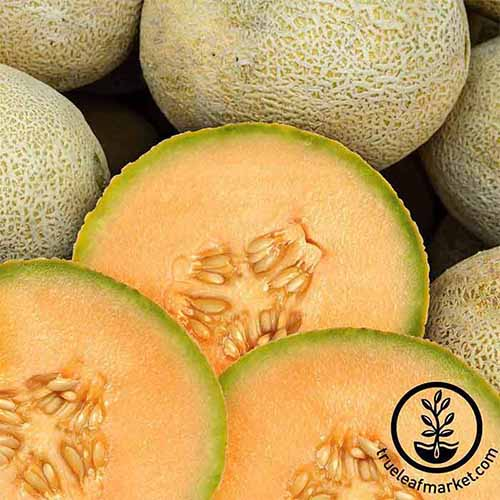 A close up square image of whole and halved 'Edisto 47' melons. To the bottom right of the frame is a black circular logo with text.