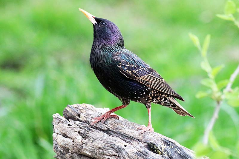 A close up horizontal image of a European starling on a piece of dead wood pictured on a green soft focus background.