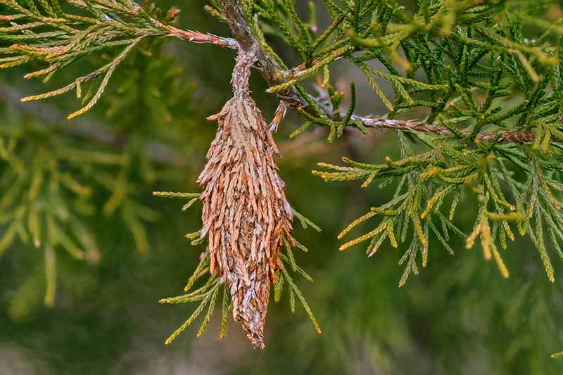 A close up horizontal image of a bagworm moth cocoon hanging from a conifer tree.