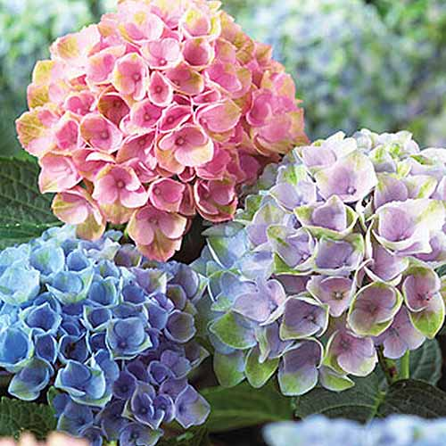 A close up square image of blue, purple, and pink hydrangea blooms pictured on a soft focus background.