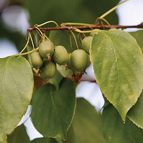 A close up square image of extra hardy kiwi fruits growing on the branch of a vine pictured on a soft focus background.