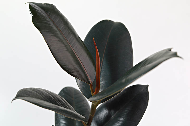 A close up horizontal image of a Ficus elastica 'Burgundy' isolated on a white background.