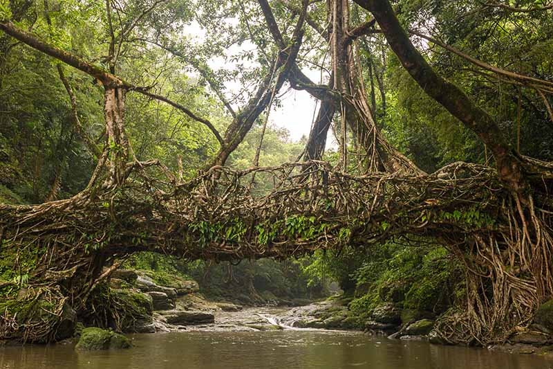 A horizontal image of two rubber trees growing on either side of a river, the branches have been trained to join together creating a bridge.