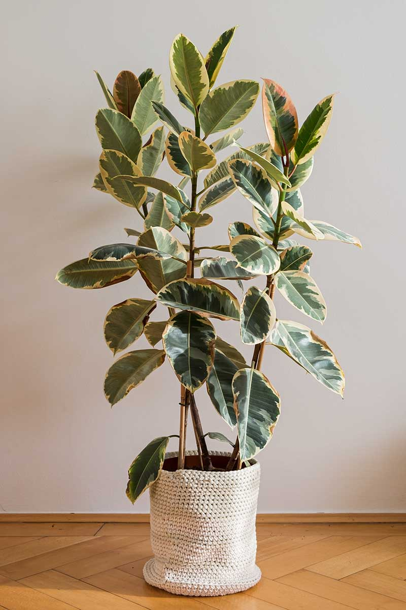 A vertical image of a variegated rubber tree, Ficus elastica 'Tineke' growing in a decorative pot set on a wooden floor.