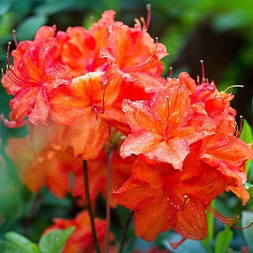 A close up square image of 'Fireball' bright red azalea pictured in sunshine on a soft focus background.
