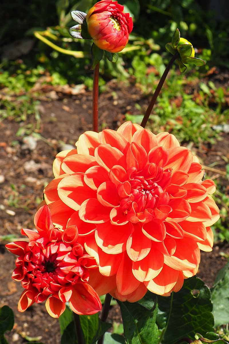 A close up vertical image of a bright red 'Firecracker' dahlia growing in the garden pictured in bright sunshine on a soft focus background.
