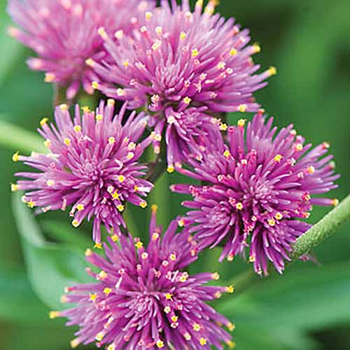 A close up square image of Gomphrena 'Fireworks' flowers pictured on a soft focus background.