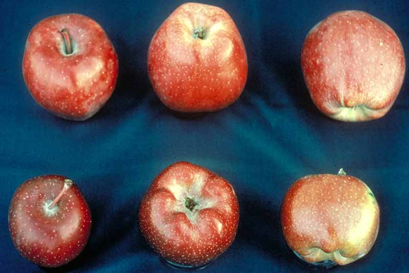 """A close up horizontal image of six fruits suffering from """"flat apple"""" caused by the cherry rasp leaf virus, set on a blue surface."""