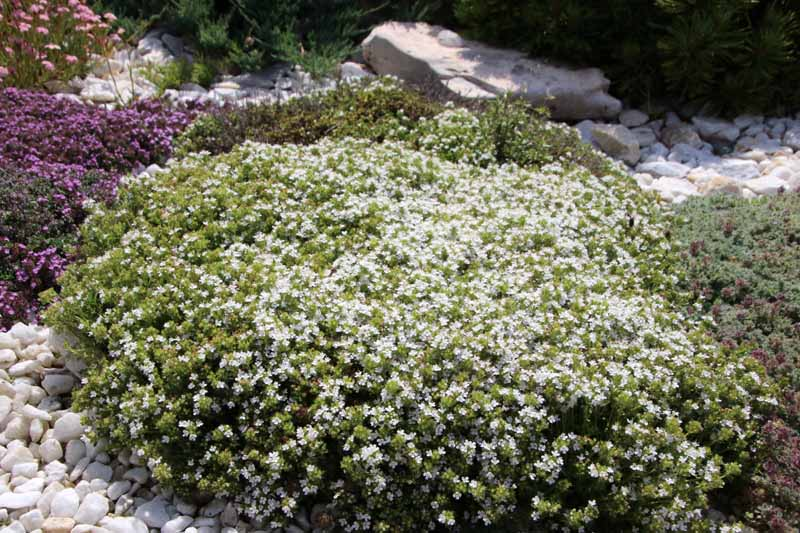 A close up horizontal image of a clump of Thymus praecox 'Albiflorus' with white flowers growing in a rock garden.
