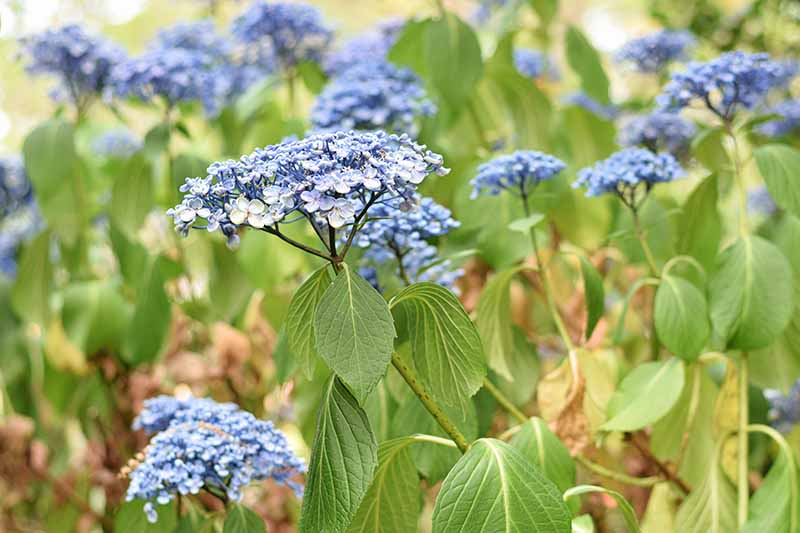 A close up horizontal image of a hydrangea shrub with blue flowers suffering from drooping foliage.