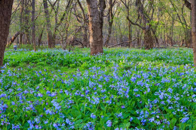 A horizontal image of a forest floor covered in light blue Virginia bluebell flowers in the early spring.