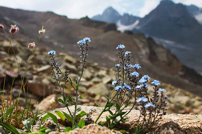 A horizontal image of blue Myosotis asiatica flowers growing on a rocky hillside with mountains in soft focus in the background.