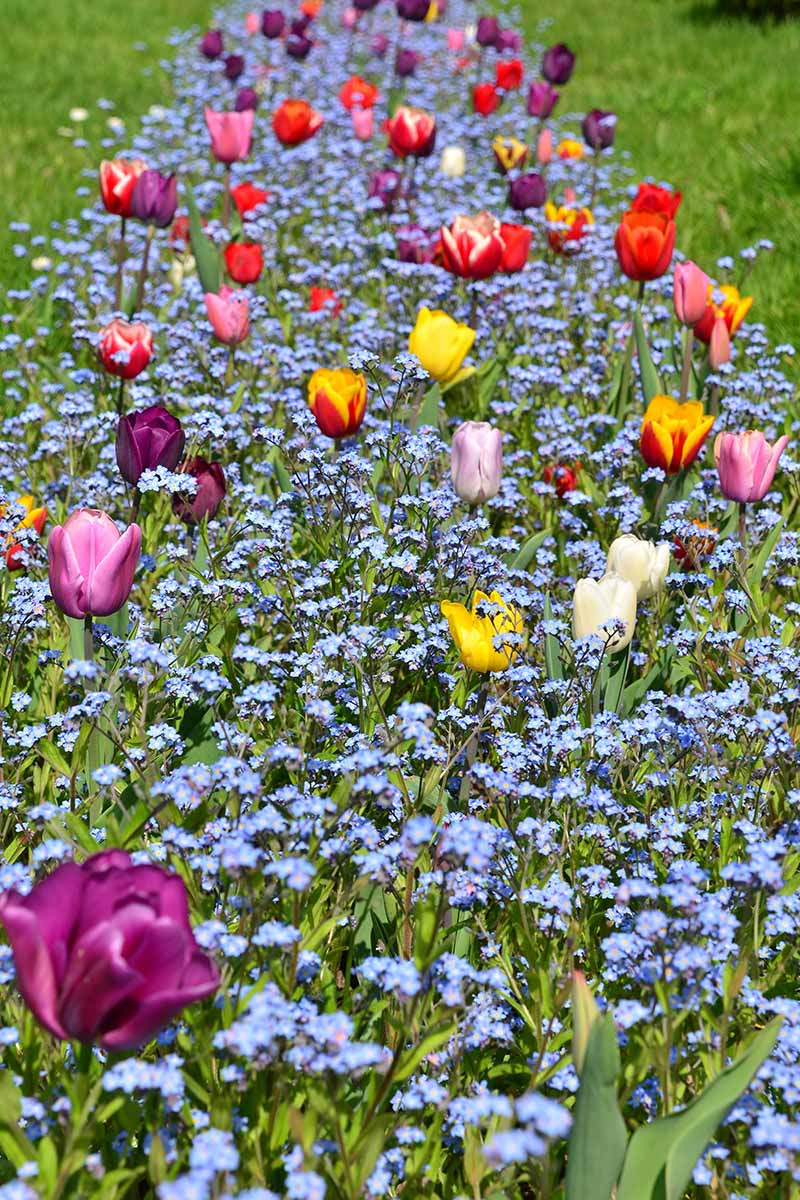 A vertical image of a border planted with a mass of blue Myosotis sylvatica flowers interspersed with tulips and lawn to either side.