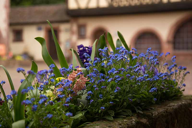 A close up horizontal image of a concrete planter with a mass of blue Myosotis sylvatica flowers on a patio with homes in soft focus in the background.
